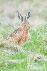 Brown Hare,North Pennines AONB,wildlife photography holidays,wildlife photography tuition