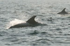 White-beaked Dolphin [Lagenorhynchus albirostris],whale watching,dolphin watching,Northumberland