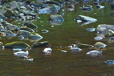 birdwatching,northumberland,north pennines aonb,Goosander