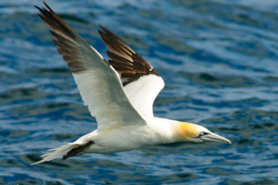 Northern Gannet,pelagics,North Sea,Northumberland,bird photography