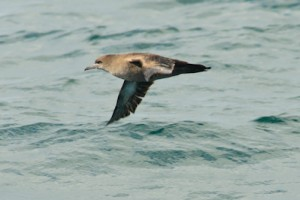 Sooty Shearwater,Northumberland,North Sea,pelagics,bird photography