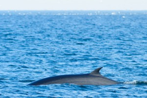 Minke Whale,whale watching,dolphin watching,North Sea,Northumberland,wildlife photography tuition