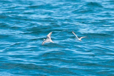Grey Phalarope,Northumberland,bird photography,pelagic birdwatching trips,pelagic wildlife trips