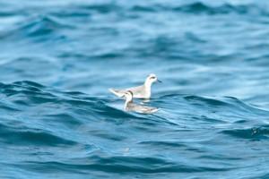Grey Phalarope,Northumberland,bird photography,pelagic birdwatching trips,pelagic wildlife trips