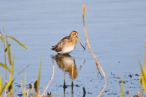 Common Snipe,Northumberland,bird photography,bird photography courses,bird photography holidays