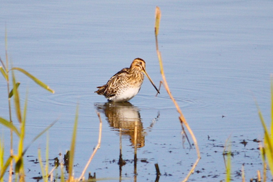 Common Snipe,Northumberland,bird photography,bird photography courses,bird photography holidays