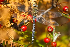 dragonfly,Migrant Hawker,Northumberland,macro photography,macro photography workshop,insect photography,insect photography workshop