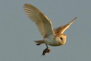 Barn Owl,Birdwatching Northumberland,bird photography holidays,bird photography courses,Northern Experience Images