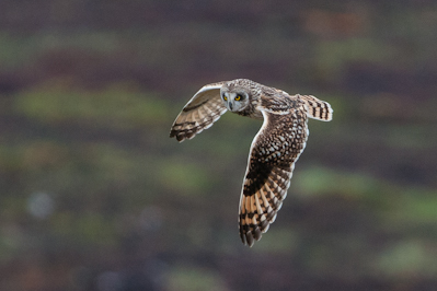 Short-eared Owl,Northumberland,bird photography tuition,bird photography courses Northumberland,bird photography holidays
