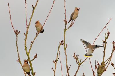 Bohemian Waxwings,Northumberland,bird photography tuition,bird photography holidays