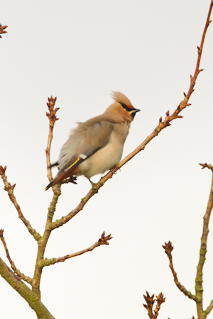 Bohemian Waxwing,Northumberland,bird photography tuition,bird photography holidays