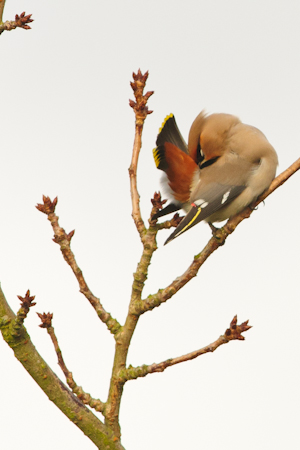 Bohemian Waxwing,Northumberland,bird photography holidays,bird photography tuition