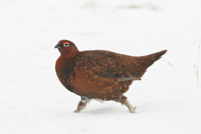 Red Grouse,bird photography,photography tuition,Northumberland