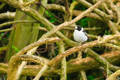 Collared Flycatcher,Northumberland,bird photography tuition,bird photography holidays