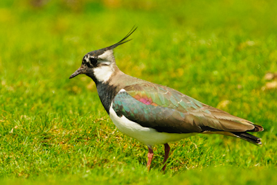 Northern Lapwing,Vanellus vanellus,Martin Kitching,www.northernexperienceimages.co.uk,Northumberland,North Pennines,bird photography courses,bird photography holidays
