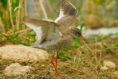 Common Redshank,Northumberland,photography courses,bird photography holidays,www.northernexperienceimages.co.uk