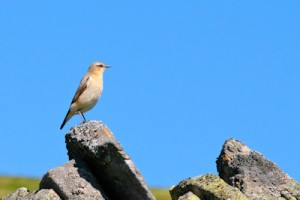 Northern Wheatear Oenanthe oenanthe,bird photography,bird photography holidays,bird photography courses,birdwatching holidays,Weardale,County Durham,North Pennines,www.northernexperienceimages.co.uk