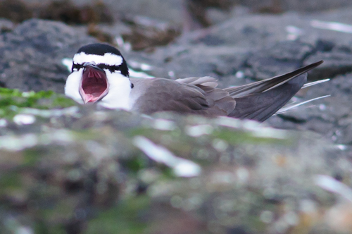 Bridled Tern,Onychoprion anaethetus,Farne Islands,Northumberland,bird photography, bird photography tuition,bird photography holidays,Northern Experience Images