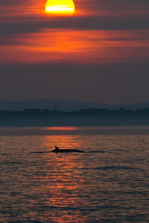 Minke Whale,Balaenoptera acutorostrata,North Sea,Northumberland,North Sea Pelagics,Whalewatching,Dolphin watching,Birdwatching