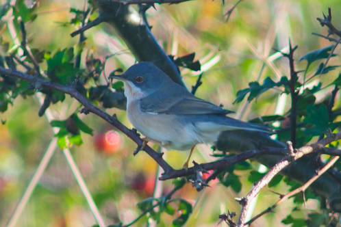 Subalpine Warbler,Sylvia cantillans,Druridge Pools,Northumberland,guided birdwatching,bird photography tuition,bird photography holidays