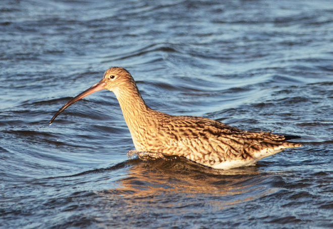 Eurasian Curlew,Numenius arquata,Northumberland,birdwatching holidays,photography holidays,Holy Island,Lindisfarne