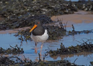 Oystercatcher, Haematopus ostralegus, Northumberland, photography tuition, bird photography, one to one photography, bird photography holidays