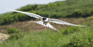 Arctic Tern,Sterna paradisaea,Farne Islands,Northumberland,photography tuition Northumberland,bird photography Northumberland,photography courses Northumberland,photography Farne Islands