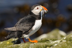 Atlantic Puffin,Fratercula arctica,Staple Island,Farne Islands,Northumberland,photogarhy courses Northumberland,photography tuition Northumberland,photogarphy holidays Northumberland