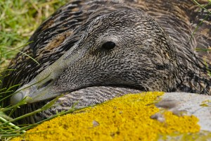 Common Eider,Somateria mollissimma,Staple Island,Farne Islands,Northumberland,phtography courses Northumberland,photography tuition Northumberland,photography holidays Northumberland,