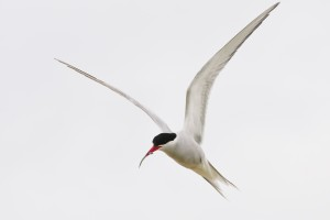 Arctic Tern,Sterna paradisaea,Inner Farne,Farne Islands,bird photography courses,bird photography tuition,Northumberland,bird photography holidays