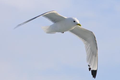 Black-legged Kittiwake,Rissa tridactyla,North Sea,Northumberland,North Sea pelagics,pelagic birdwatching