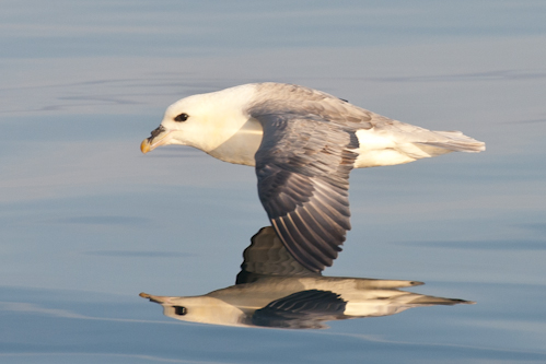 Northern Fulmar,Fulmarus glacialis,North Sea,Northumberland,North Sea pelagics,pelagic birdwatching