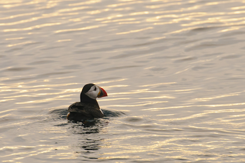 Atlantic Puffin,Fratercula arctica,North Sea,Northumberland,North Sea pelagics,palgic birdwatching