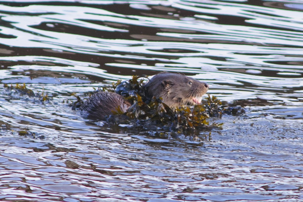 Eurasian Otter,Lutra lutra,Northumberland,otter watching,otter safari,otter photography workshops