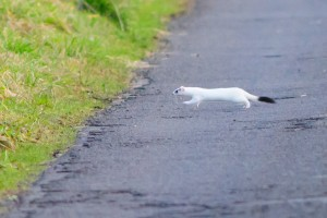 Stoat,Mustela erminea,Northumberland,wildlife sfaris UK,wildlife tours UK,