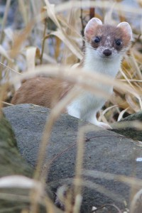 Stoat,Mustela erminea,Northumberland,wildlfie tours UK,wildlfie photography,wildlife photography workshops,wildlfie photography workshops Northumberland
