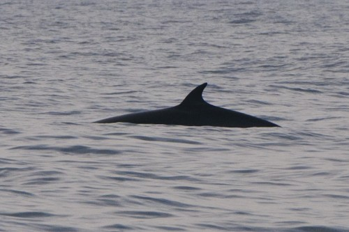 Minke Whale,Balaenoptera acutorostrata,Northumberland,North Sea Pelagics,Northern Experience Wildife Tours,whalewatching England,whalewatching Northumberland,dolphin watching England,dolphin watching Northumberland,dolphin watching North Sea,whalewatching North Sea