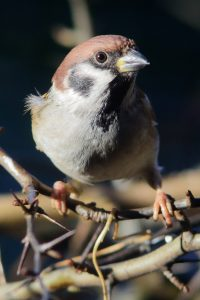 Tree Sparrow,Passer montanus,Northumberland,Northern Experience Wildlife Tours