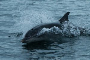 Bottlenose Dolphin,Tursiops truncatus,St Mary's Island,Whitley Bay,Northumberland,North Sea pelagic,Northumberland pelagic,North Sea,dolphin spotting North Sea,dolphin spotting Northumberland,dolphin spotting, whale watching Northumberland,whalewatching North Sea,Northern Experience Wildlife Tours