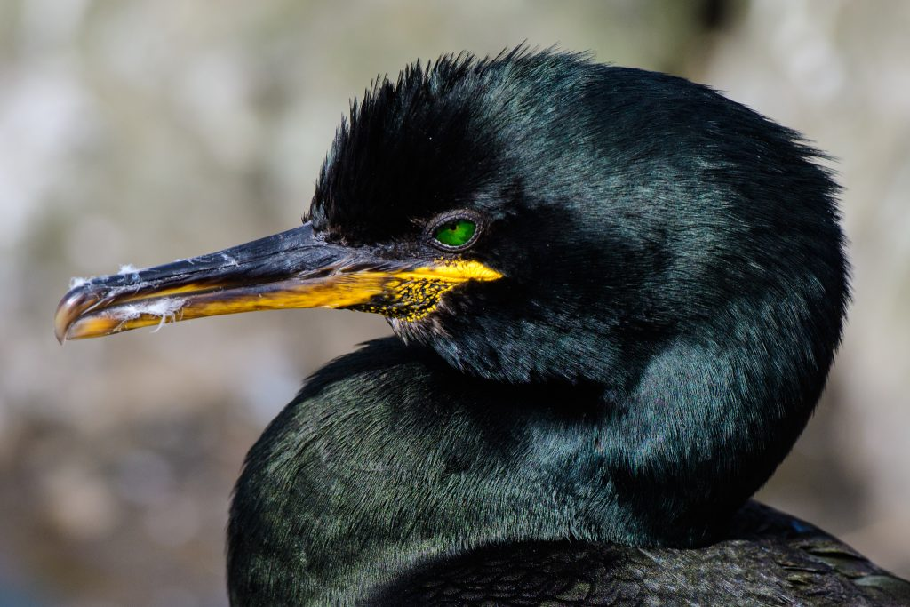wildlife tours UK,wildife tours Northumberland,European Shag,Farne Islands,Northumberland,Northern Experience Wildlife Tours,Seahouses,Billy Shiel's Farne Island Boat Trips,St Cuthbert III