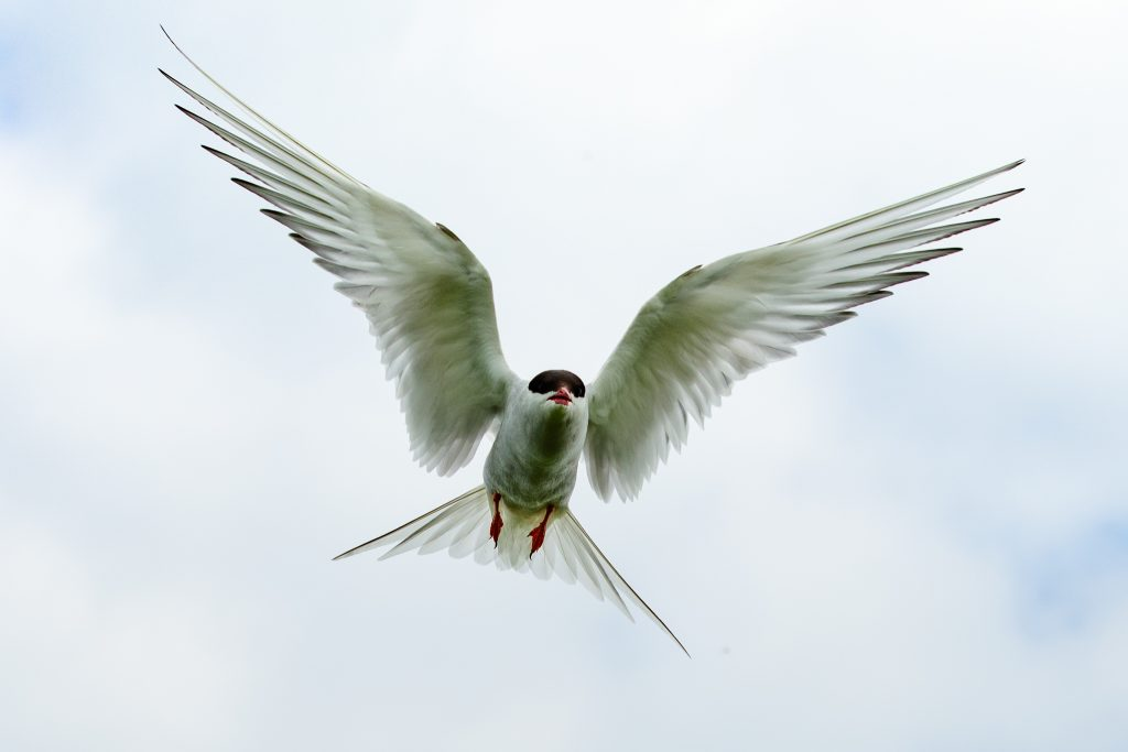 Arctic Tern,wildlife tours UK,wildlife tours Northumberland,Farne Islands,Northumberland,Northern Experience Wildlife Tours,Seahouses,Billy Shiel's Farne Island Boat Trips,St Cuthbert III