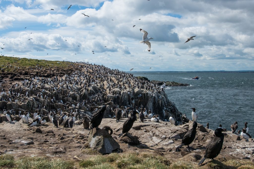 Black-legged Kittiwake,Guillemot,European Shag,Farne Islands,Northumberland,Northern Experience Wildlife Tours,Seahouses,Billy Shiel's Farne Island Boat Trips,St Cuthbert III,wildife tours UK,wildife tours Northumberland