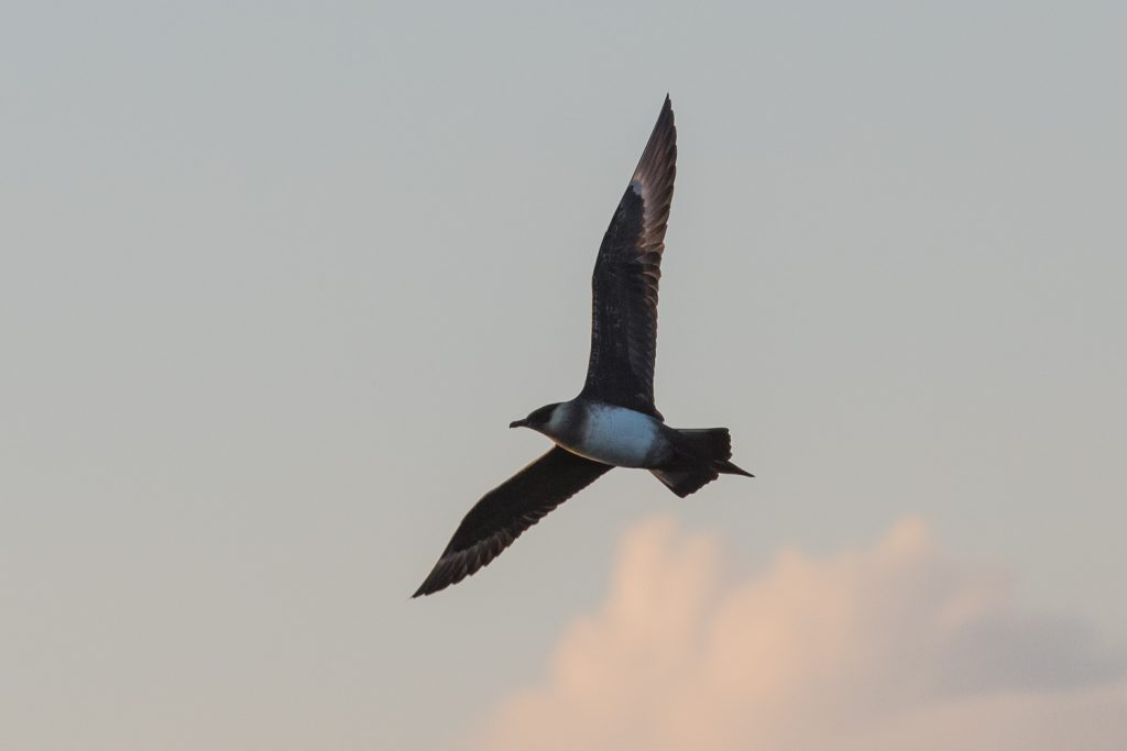 Our 4hr evening pelagic on 12th July brought excellent views of a dashing piratical Arctic Skua and a stunning sunset