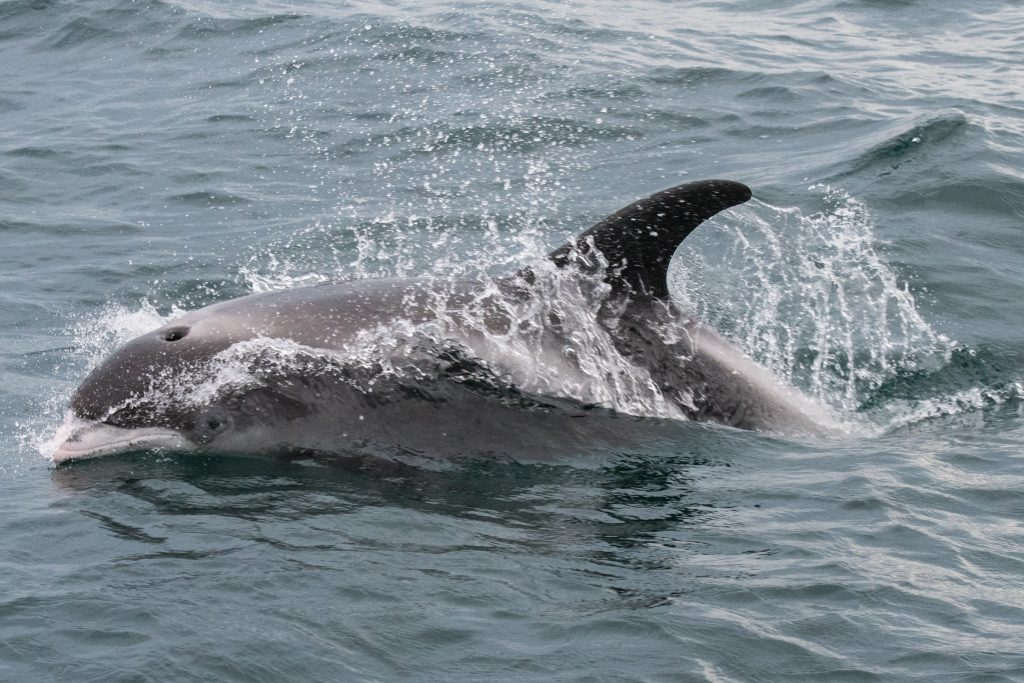 Our 4hr evening pelagic on Friday 14th July produced excellent encounter with one of the mysterious residents of the North Sea off Northumberland - White-beaked Dolphins.