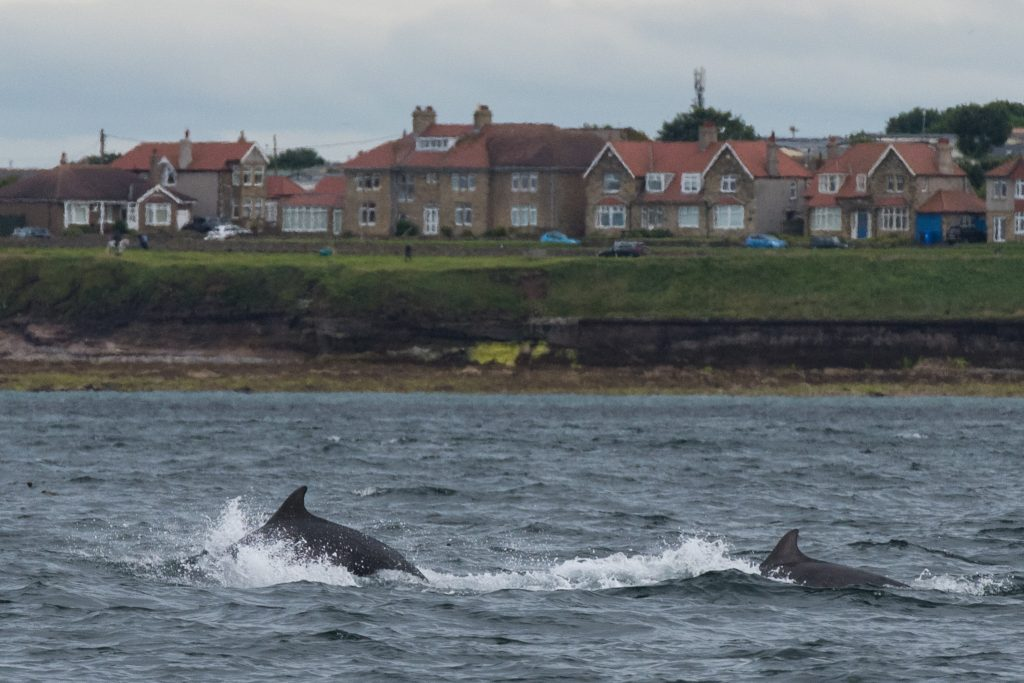 Our Farne Islands safari on Saturday 15th July produced a spectacular and unexpected ending as a pod of Bottlenose Dolphins appeared around the boat
