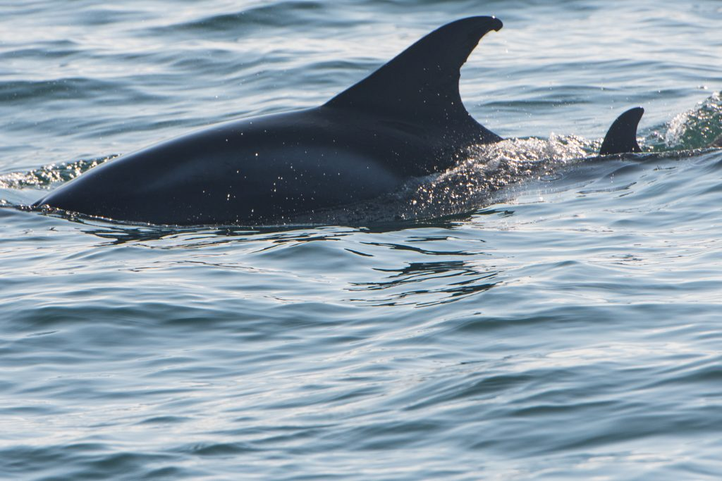 Our 10hr Northumberland Ultimate Pelagic out on the North Sea on 02/09/17 featured a mother and calf White-beaked Dolphin and a fascinating insight into their behaviour