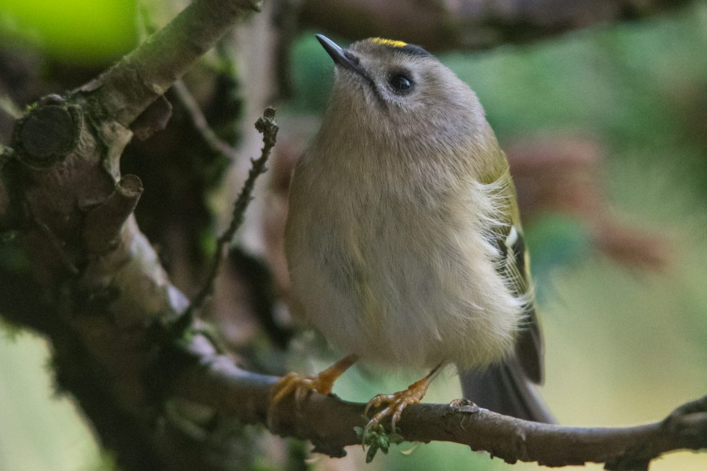 A few images of the Goldcrest that crashed into the patio doors of the NEWT office