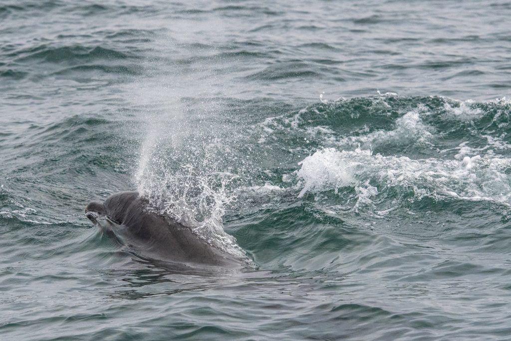 Bottlnose Dolphins spent over an hour playing around the boat on our 4hr evening pelagic off Whitley Bay and St Mary's Island on 29/06/18