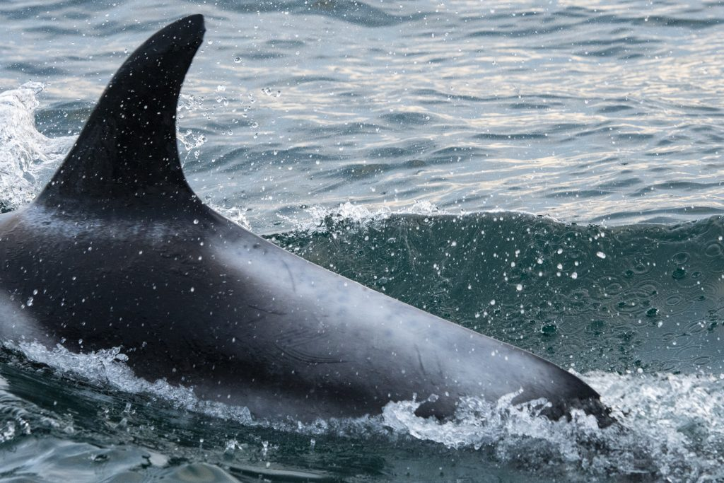 White-beaked Dolphins [Lagenorhynchus albirostris] were the highlight of our 4hr North Sea pelagic sailing on 11/07/18