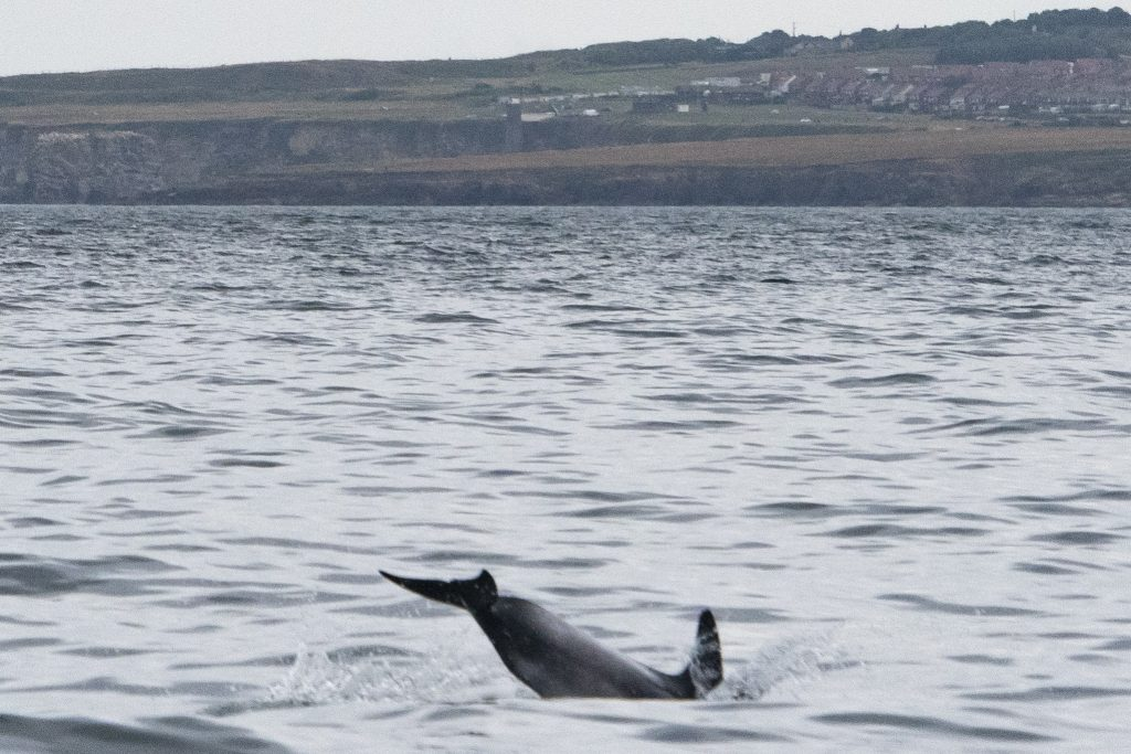 White-beaked Dolphin,Lagenorhynchus albirostris,Northumberland,pelagic,North Sea,Northumberland pelagic,dolphin spotting Northumberland,whale watching Northumberland,North Sea pelagic,Northern Experience Pelagics,Northern Experience Wildlife Tours,sunset,sunset cruise